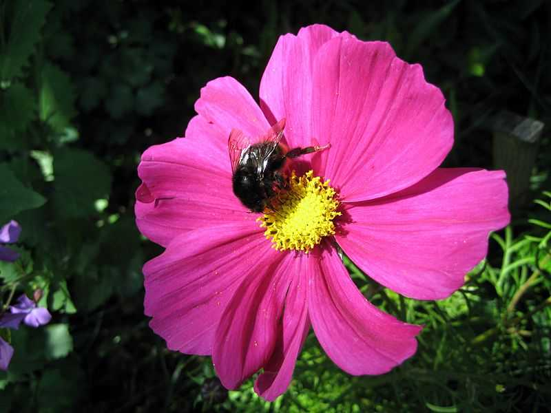 Cosmos.  (Asteraceae).