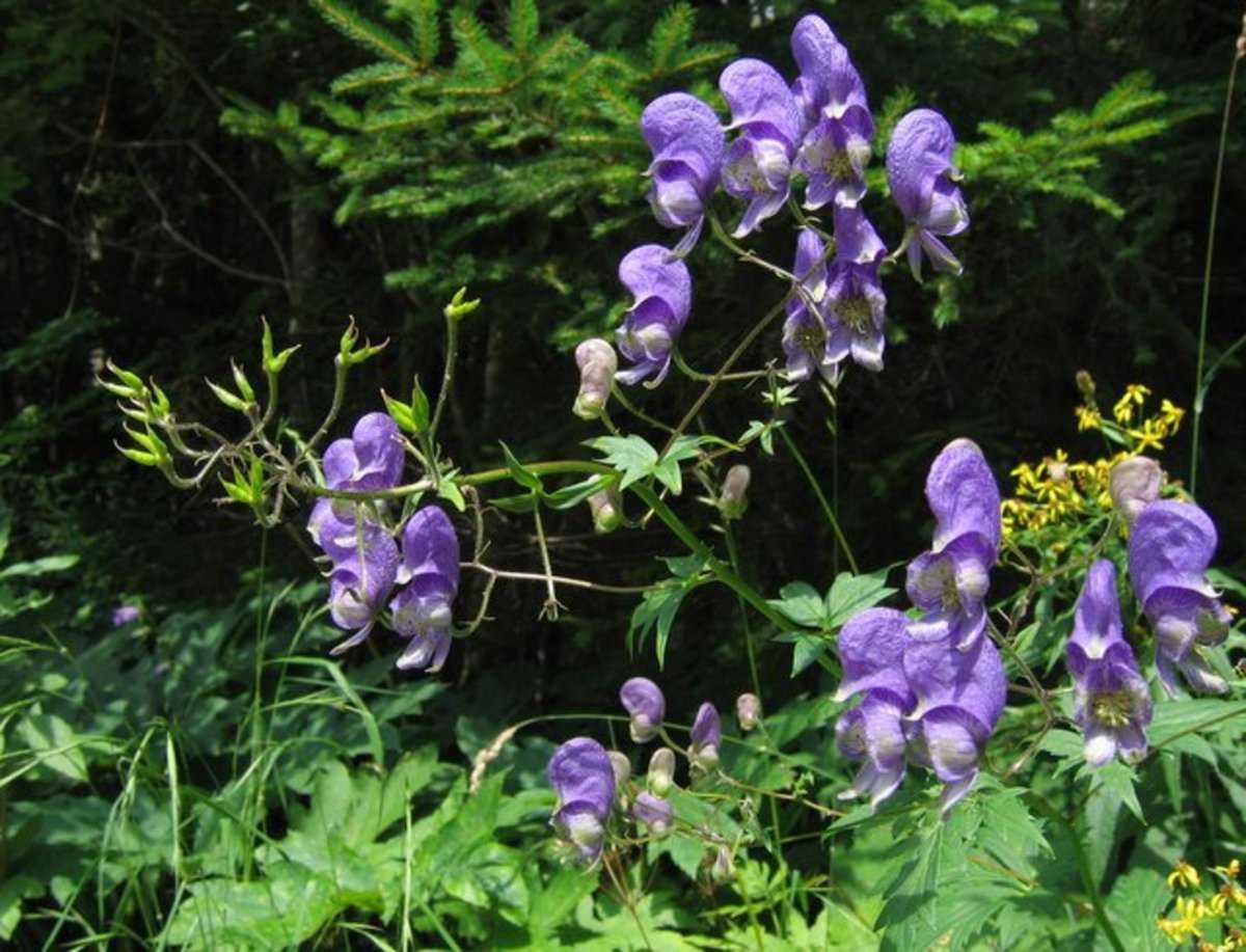 Aconitum. Also known as aconite, monkshood, wolfsbane, leopard's bane, mousebane, women's bane, devil's helmet, queen of poisons, and blue rocket.