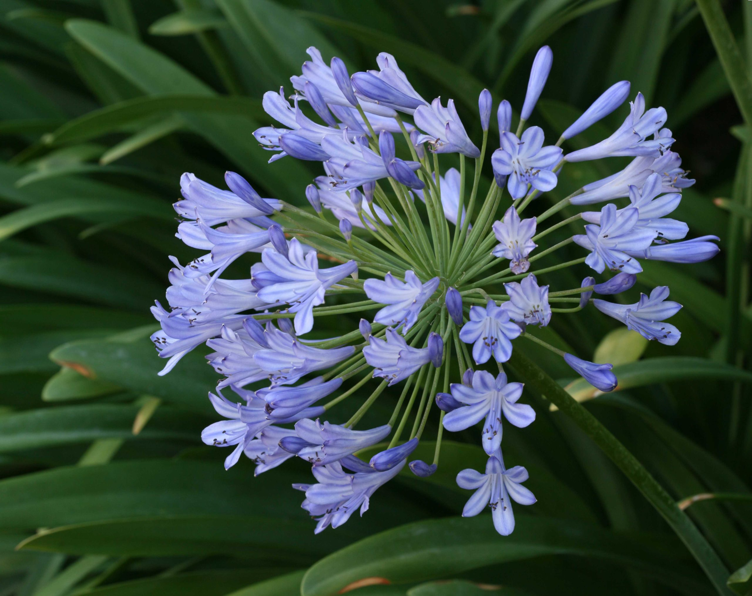 Star of Bethlehem or Lily of the Nile (Agapanthus).