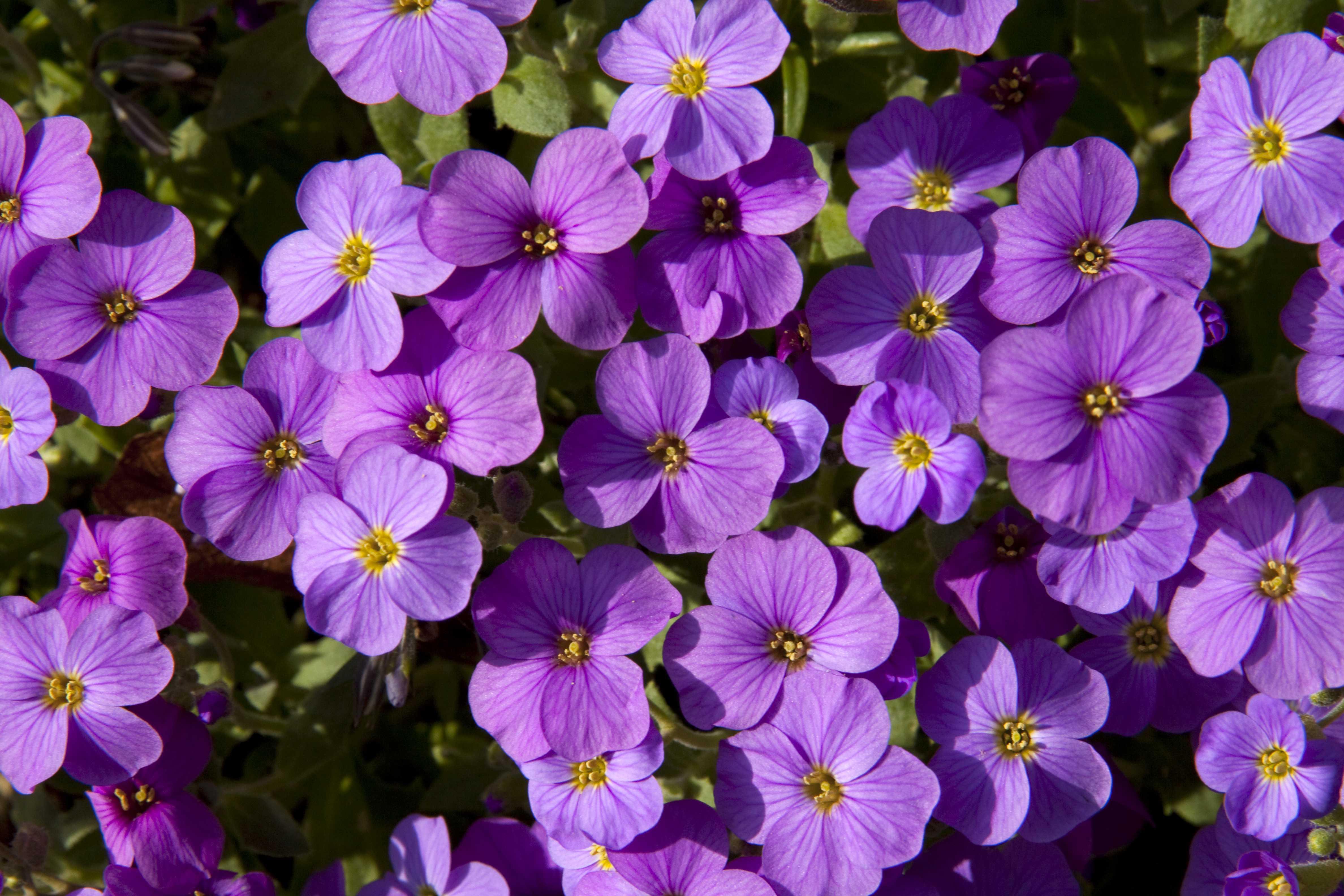Aubreita deltoidea. (Also known as Aubretia). Violet, pink and white flowers.
