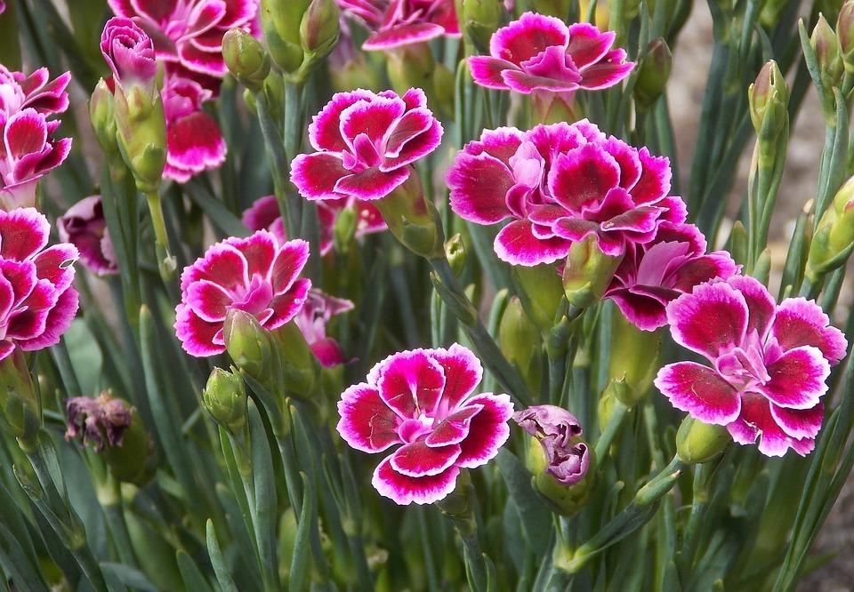 Carnation. (Dianthus caryophyllus).