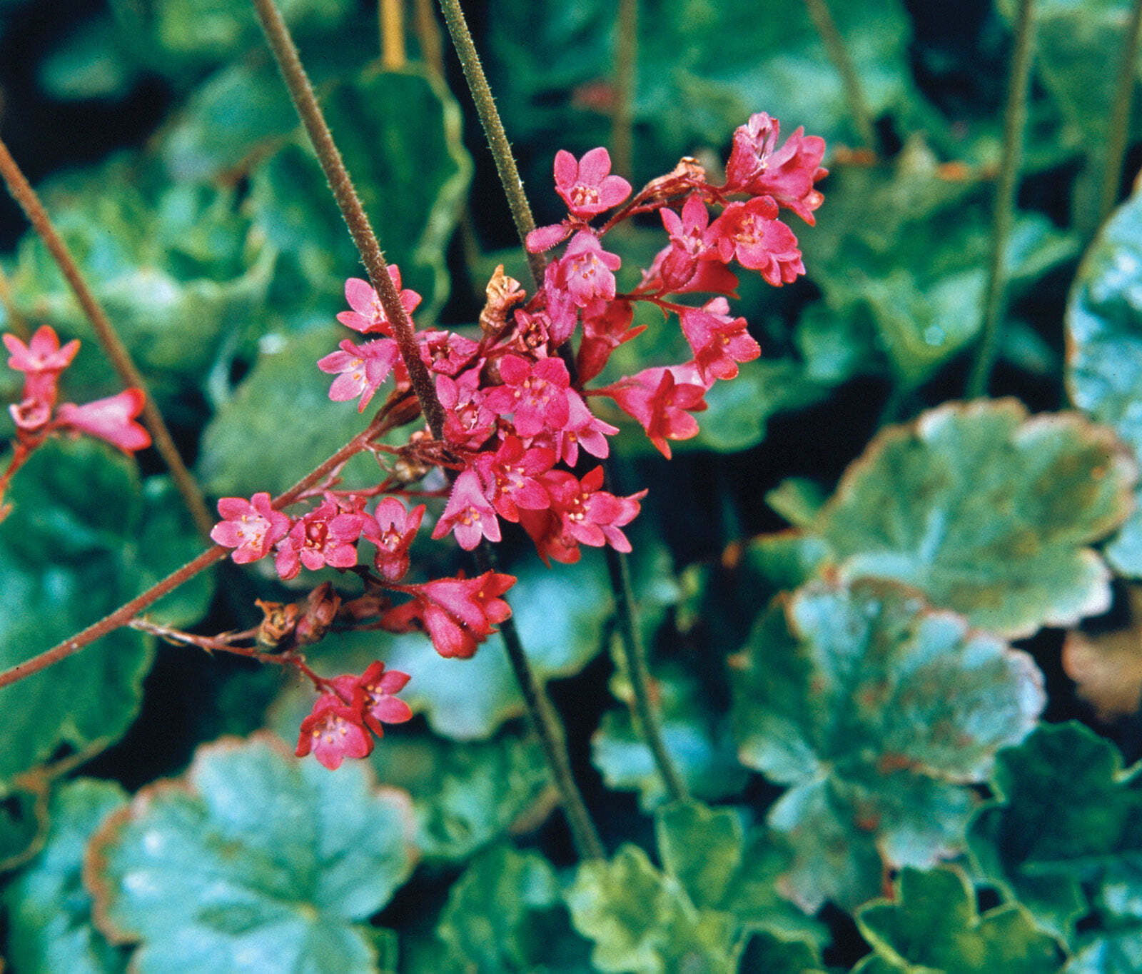 Coral Bells. (Saxifragaceae).