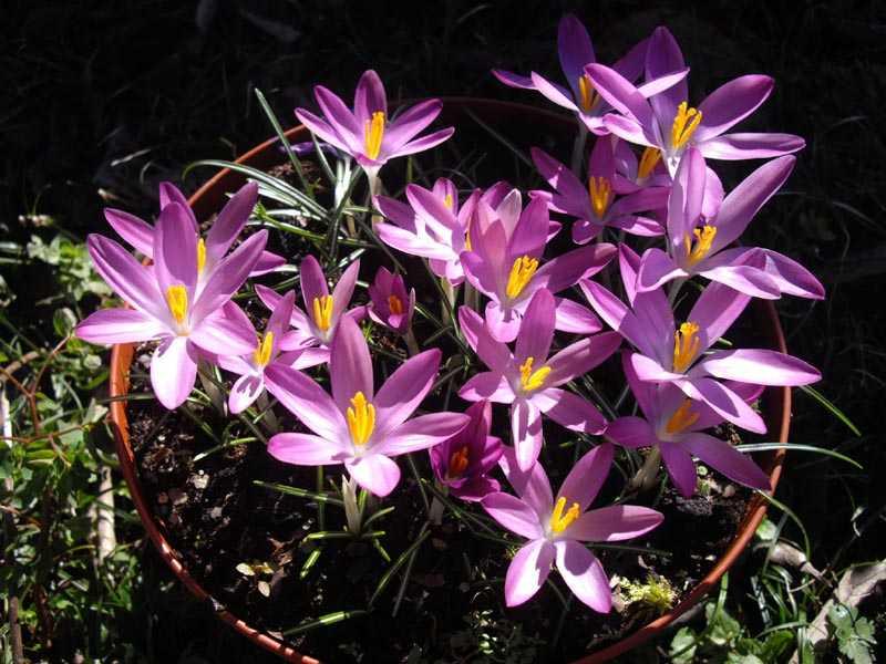 Crocus. (Iridaceae)