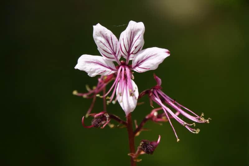 Dittany (Dictamnus albus)