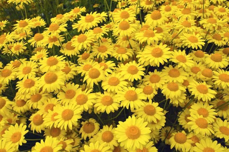 "Dyer's chamomile (Anthemis tinctoria ""Kelwayi"")"