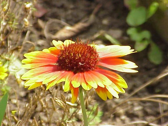 Gaillardia. Blanket Flower.