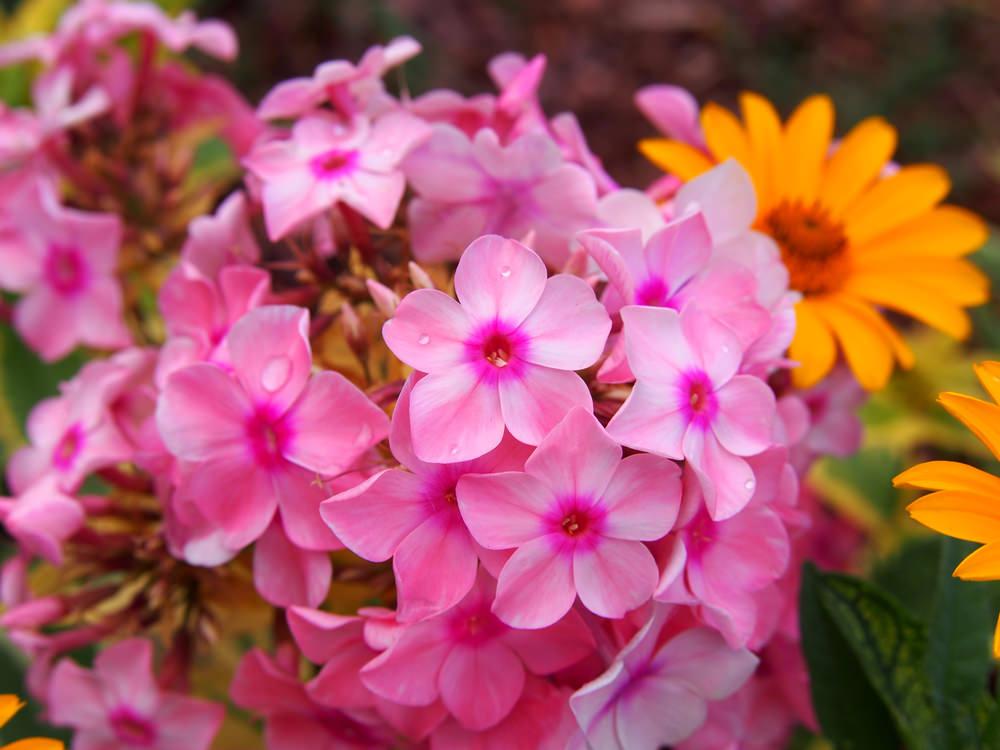 Garden Phlox (Phlox Paniculata)