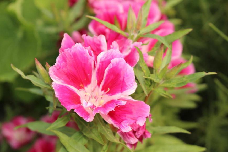 Godetia (Clarkia amoena)