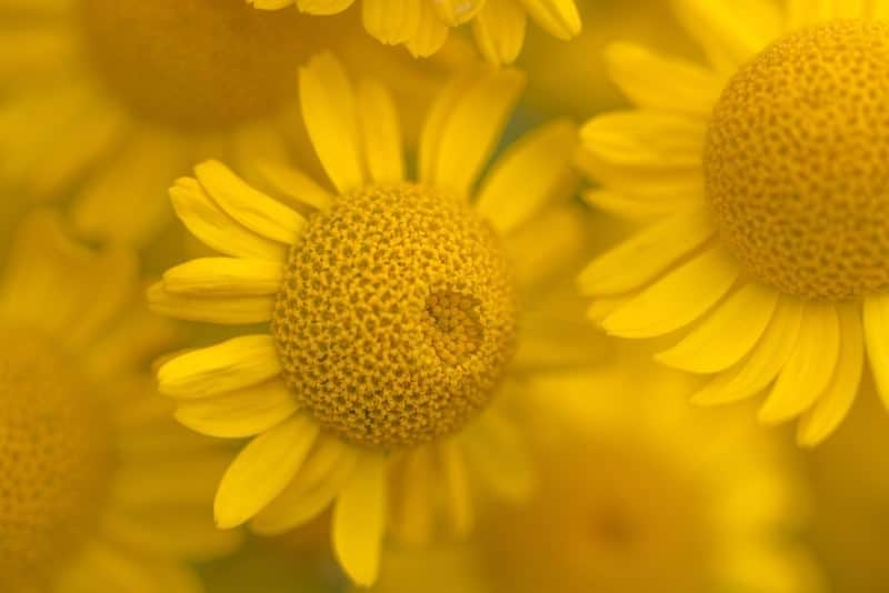 Golden Chamomile (Anthemis Tinctoria)