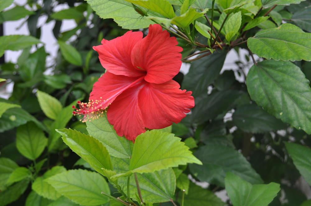 Gumamela (Hibiscus)
