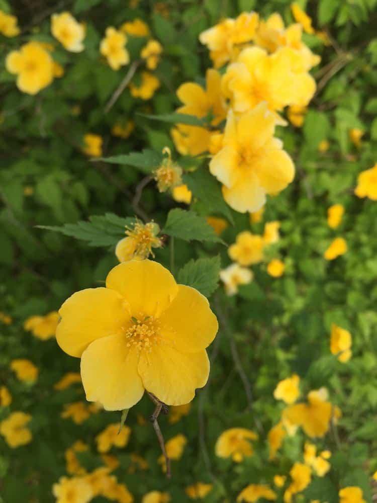 Japanese Kerria (Kerria japonica)