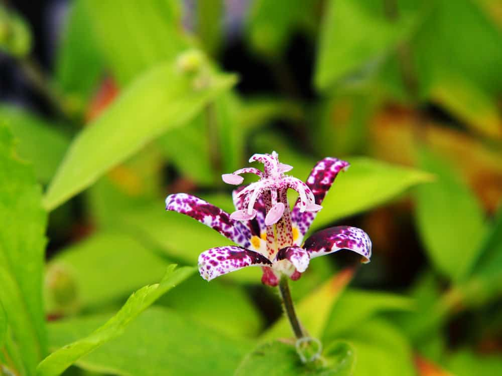 Japanese toad lily (Tricyrtis hirta)