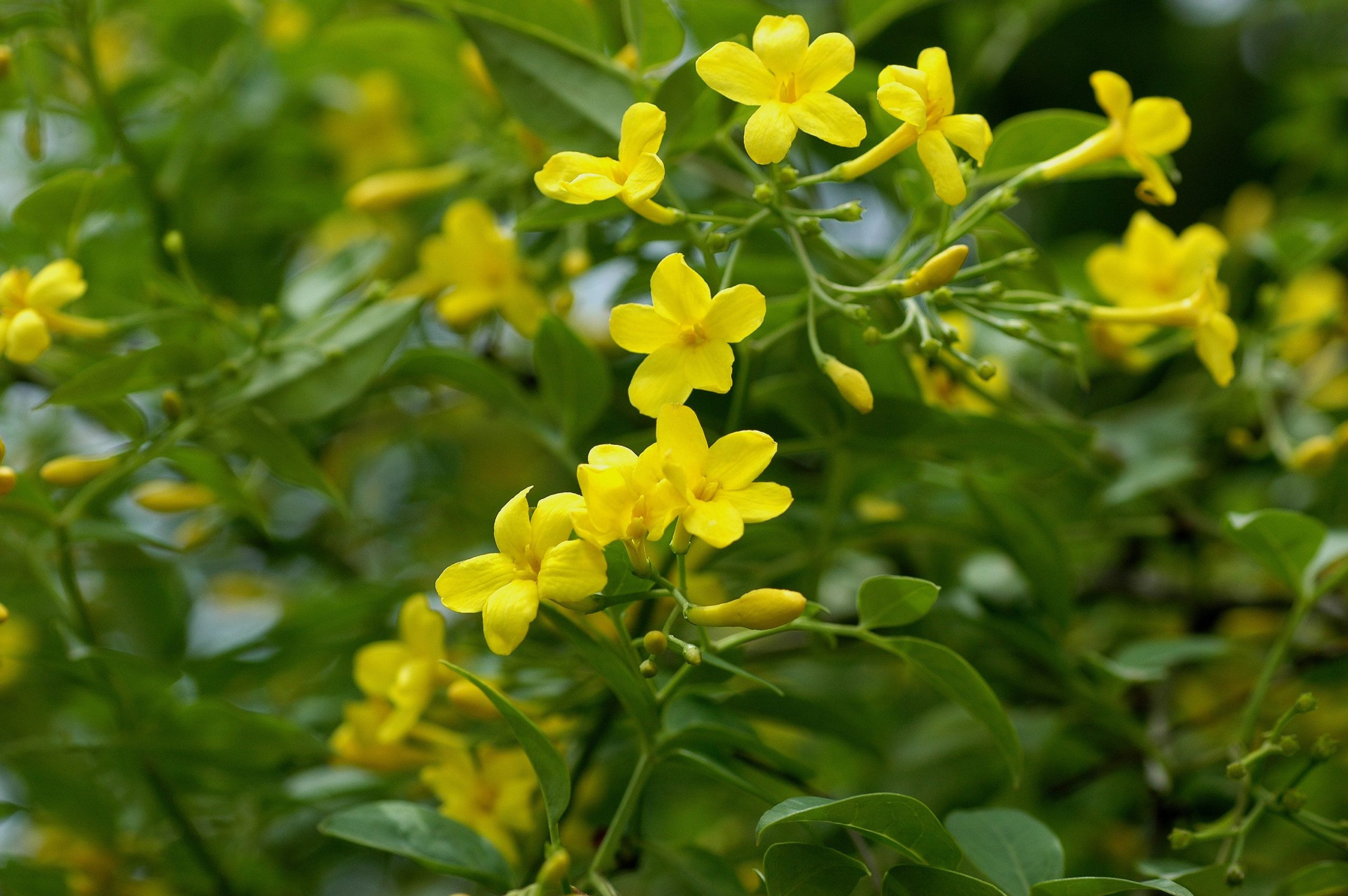 Jasminum humile 'Revolutum' is a semi-evergreen shrub producing clusters of bright yellow, fragrant flowers from late spring to early autumn. It can be grown on a wide range of soils, but it does need to be well-drained.