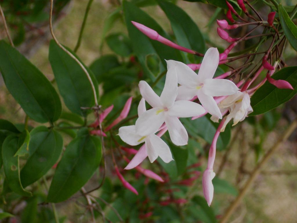 Jasmine. (Jasminum officinale).