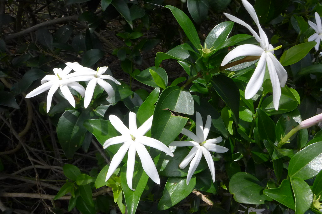 Perfect for a conservatory, sun room or ornamental greenhouse, tender Jasminum multipartitum is more of a shrub than a climber, bearing large, star-shaped flowers.
