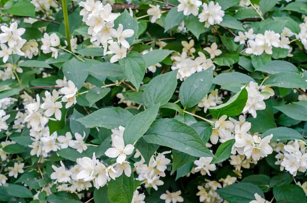 Jasminum grandiflorum, also known variously as the Spanish jasmine is native to South Asia and North Africa.
