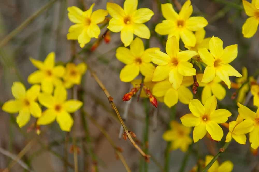 Jasminum nudiflorum, the winter jasmine has yellow flowers.