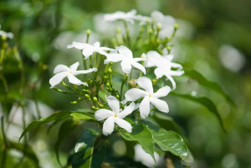 Jasminum officinale, known as the common jasmine or simply jasmine, is a species of flowering plant in the olive family Oleaceae.