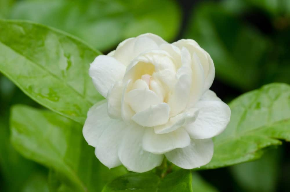 Though it's called the Arabian Jasmine, it's not orginally native to Arabia. This type of Jamsine is known as Jasminum samba in the scientific community.