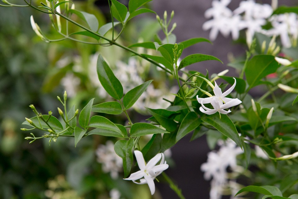 Jasminum azoricum is an evergreen climber with white, lemon-scented flowers from late spring to late autumn.