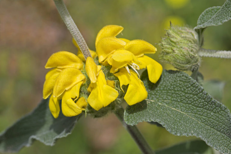 Jerusalem Sage (Phlomis Fruticosa)