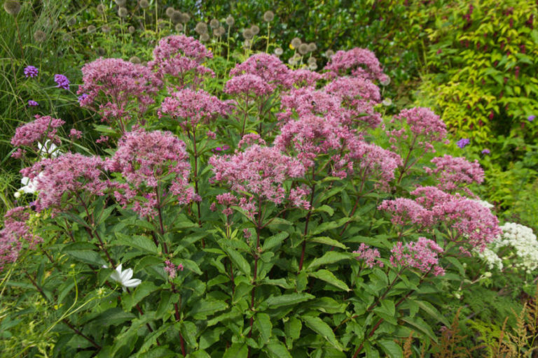 Joe Pye Weed (Eutrochium purpureum)