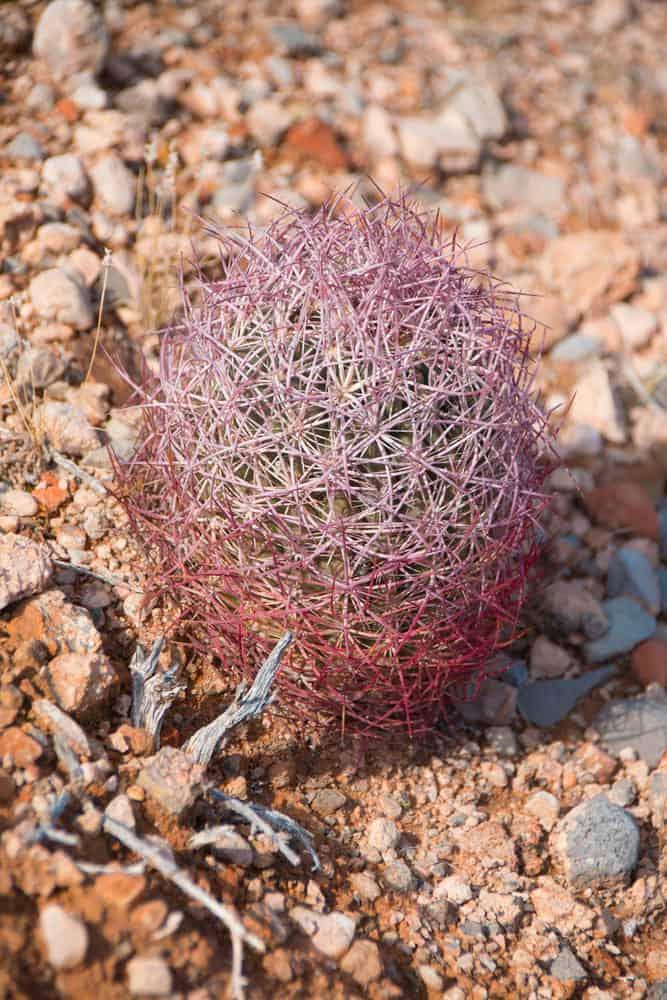 Johnson's beehive cactus (Echinomastus Johnsonii)