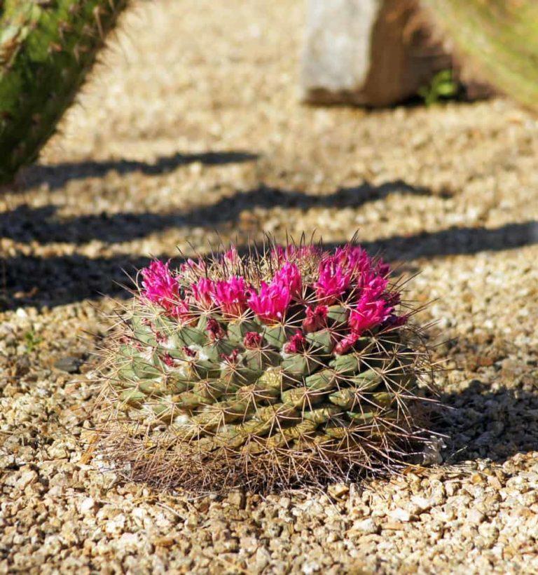 Little Nipple Cactus (Mammillaria Heyderi)