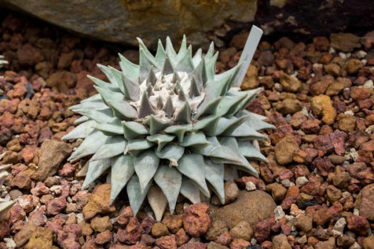 Living Rock Cactus (Ariocarpus retusus)