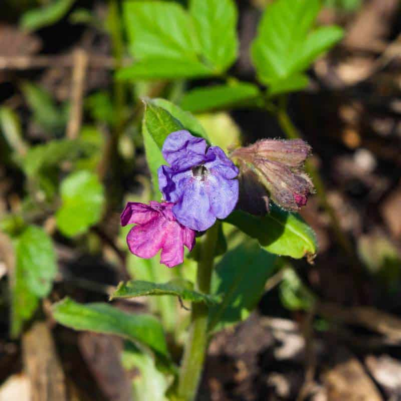 Lungwort (Pulmonaria longifolia)