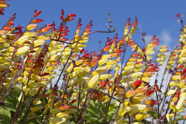 Mina lobata. (Spanish Flag).