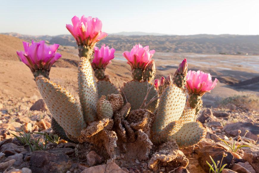 Beaver Tail Cactus (Opuntia Basilaris)