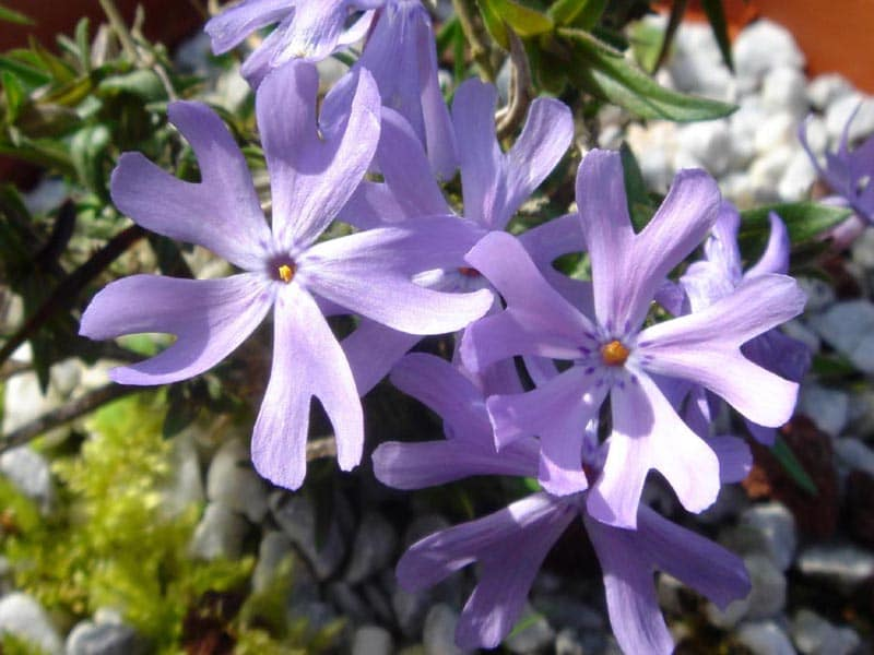 Phlox.  (Jacob's Ladder). Polemoniaceae Family.