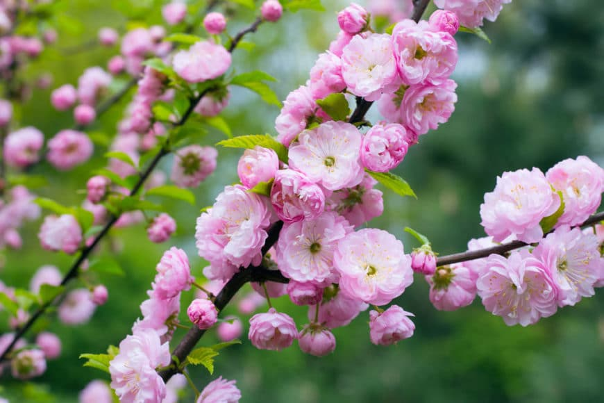 Pink Flowering Almond Shrub (Prunus Triloba)