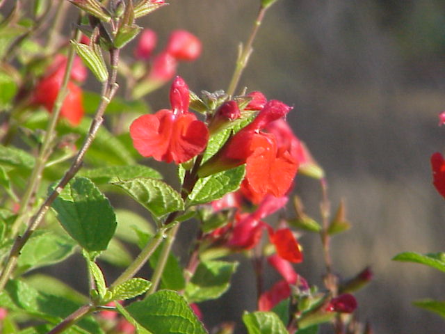Salvia splendens. (Sage).