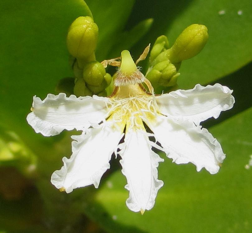 Scaevola. (Fan Flower).