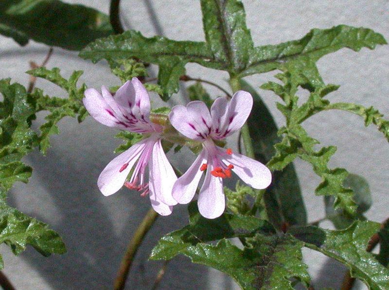 Scented Geranium. (Pelargonium).