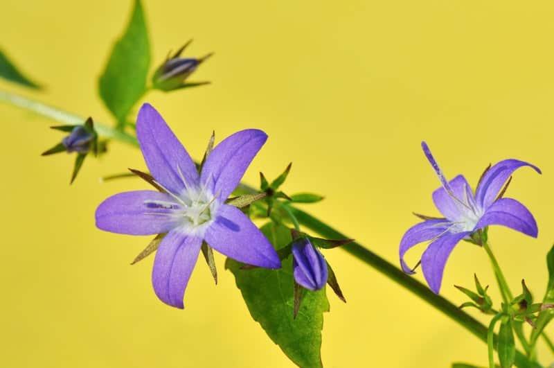 "Serbian bellflower (Campanula poscharskyana ""Stella"")"