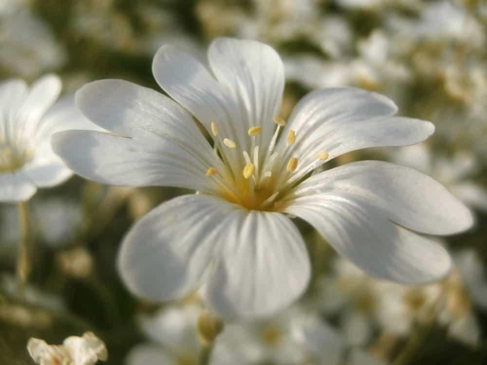 Snow-in-summer (Cerastium tomentosum)