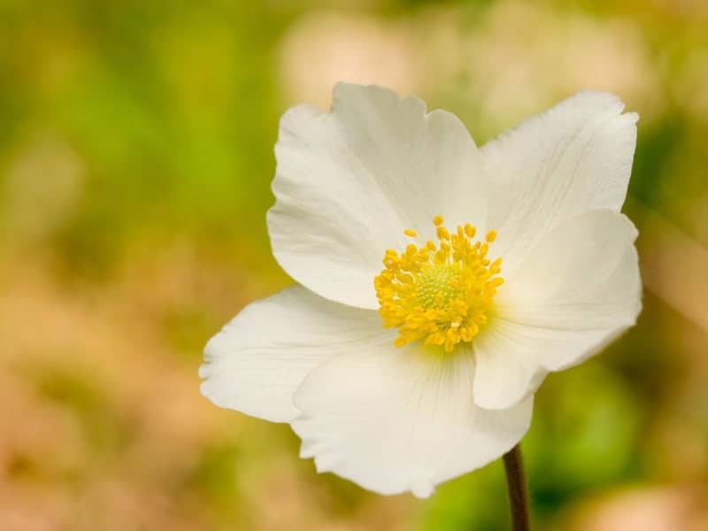 Anemone is also called the 'windflower'.