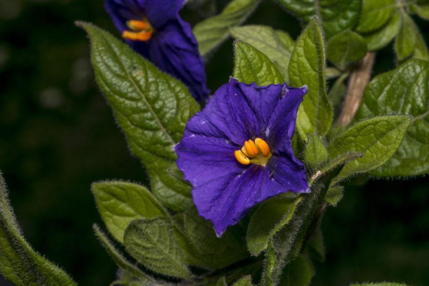 Solanum (Solanum)