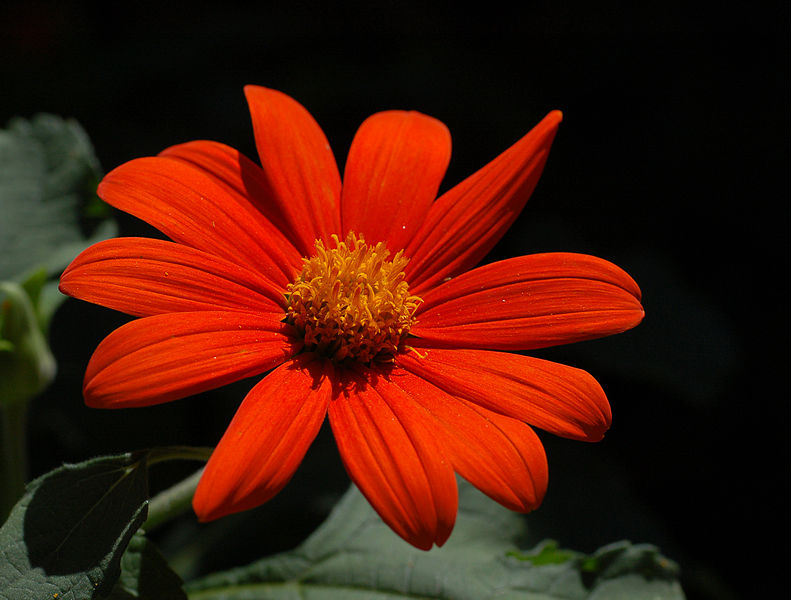 Tithonia. (Mexican Sunflower).