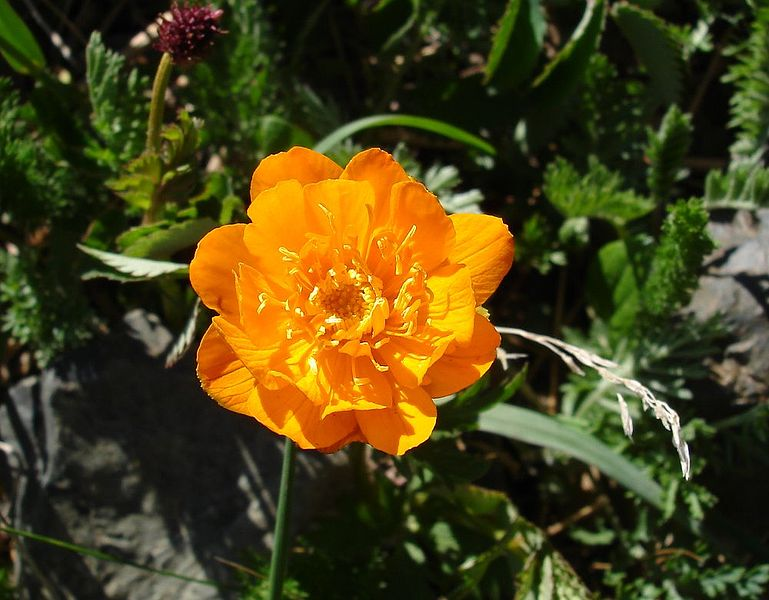 Trollius. (Globeflower). Ranunculus Family.