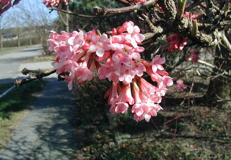 Viburnum. (Adoxaceae Family).