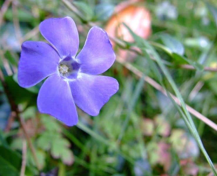Vinca Minor. (Periwinkle).