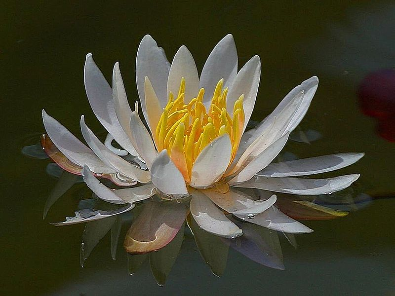Waterlily. (Nymphaea).