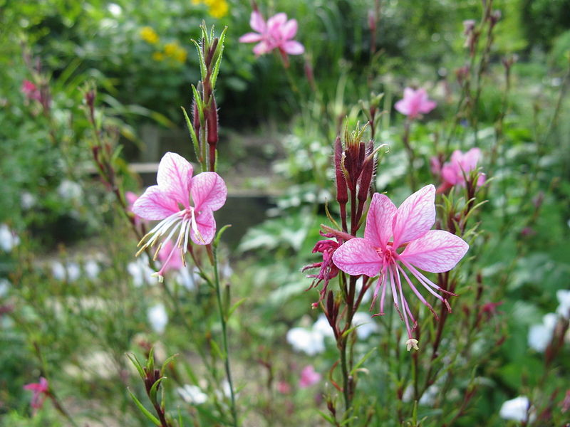 Whirling Butterflies. (Gaura).