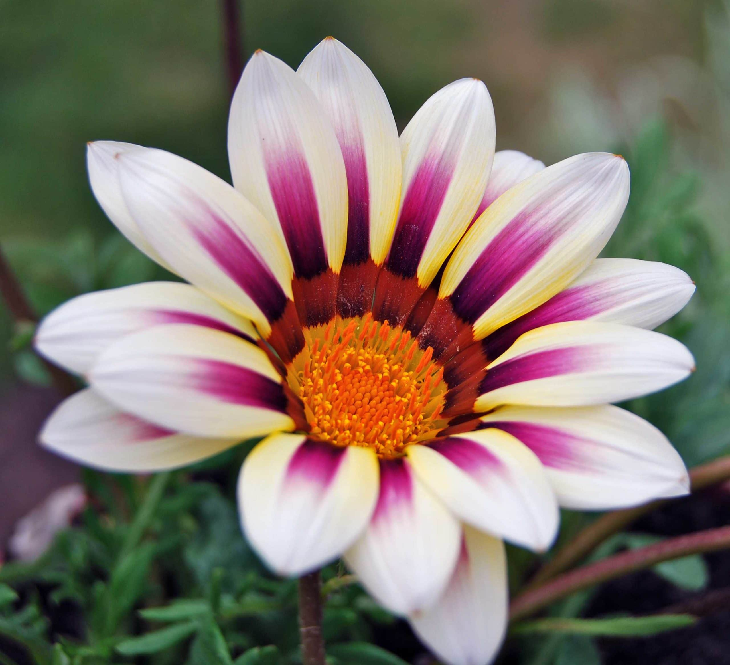 African Daisy - Gazania