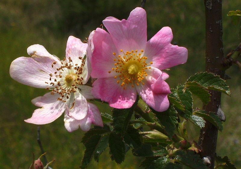 Wild Rose. (Rosaceae Family).