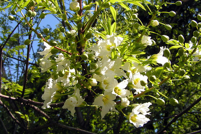 Xanthoceras sorbifolium. (Yellowhorn).